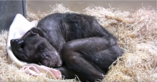 WATCH: A 59-Year-old dying chimp recognizes her old caretaker's voice
